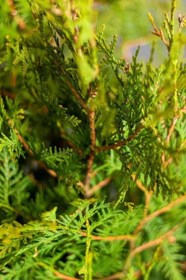 thuja-brabant-lebensbaum